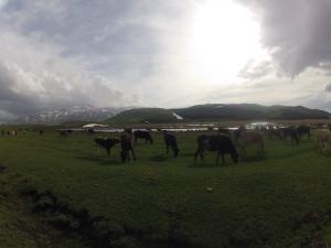 vaches d'altitude